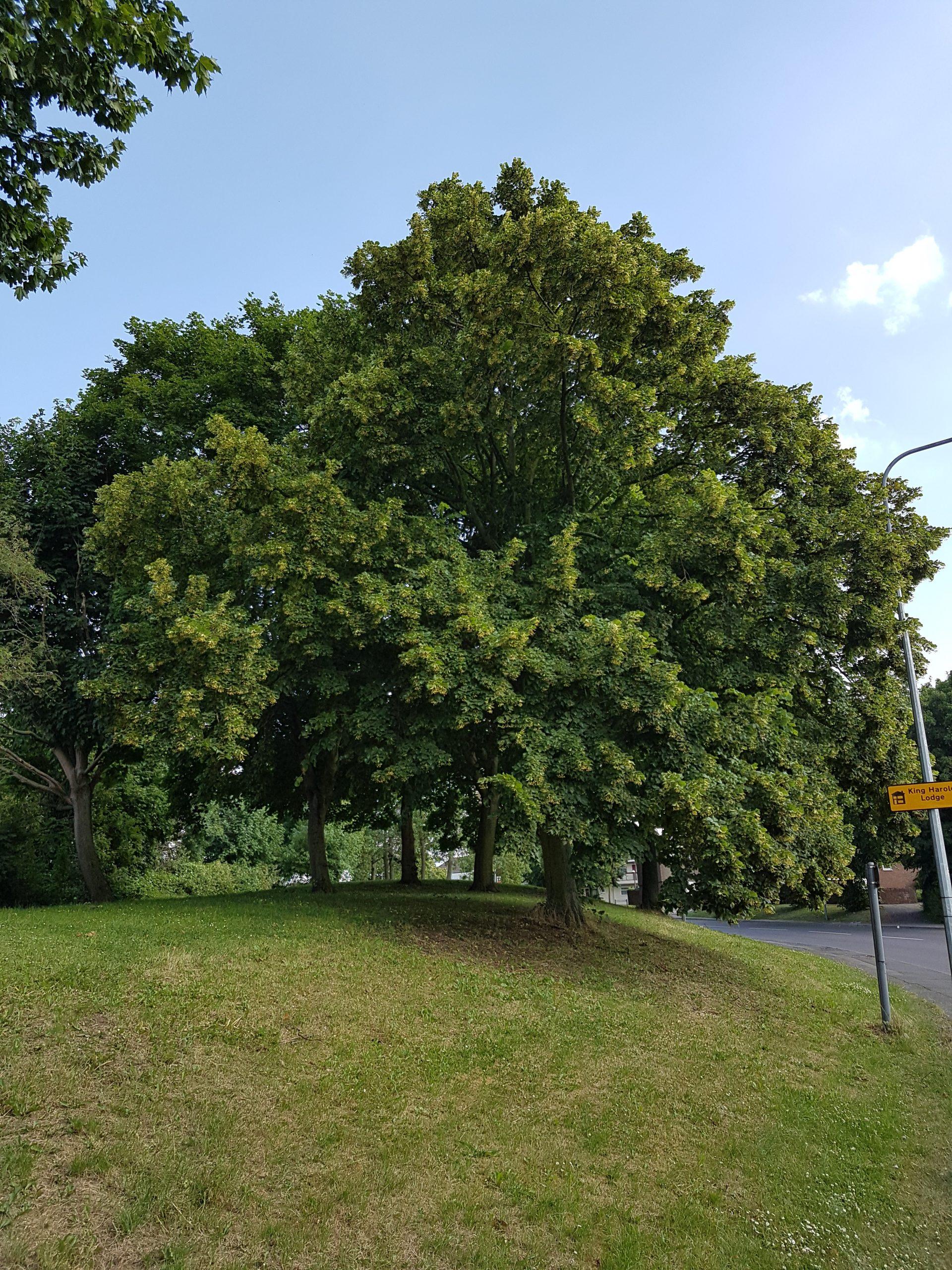 Lime or Linden Tree Flowers – Tilia x europea
